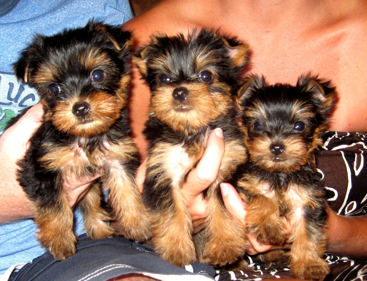 mini yorkshire terrier puppies for sale in essex
